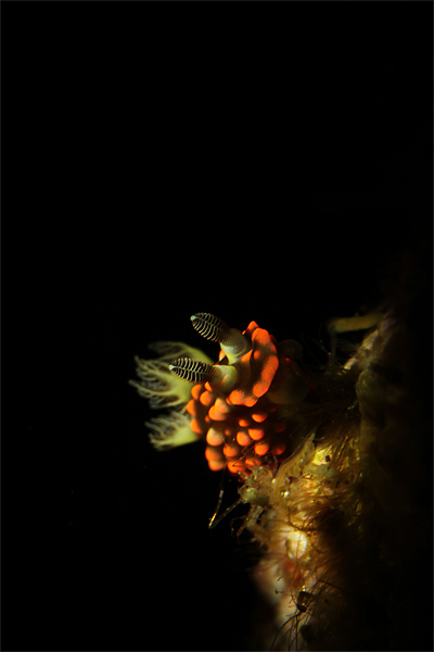 トサカリュウグウウミウシ