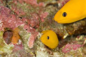 ヒメウツボ黄化個体