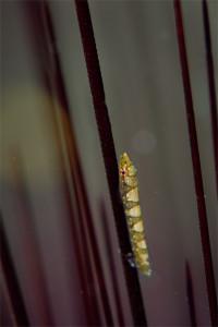 ハシナガウバウオ幼体