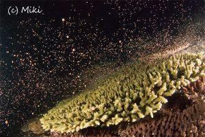 後浜 サンゴの産卵