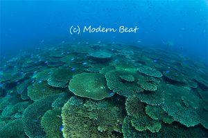 後浜のサンゴ
